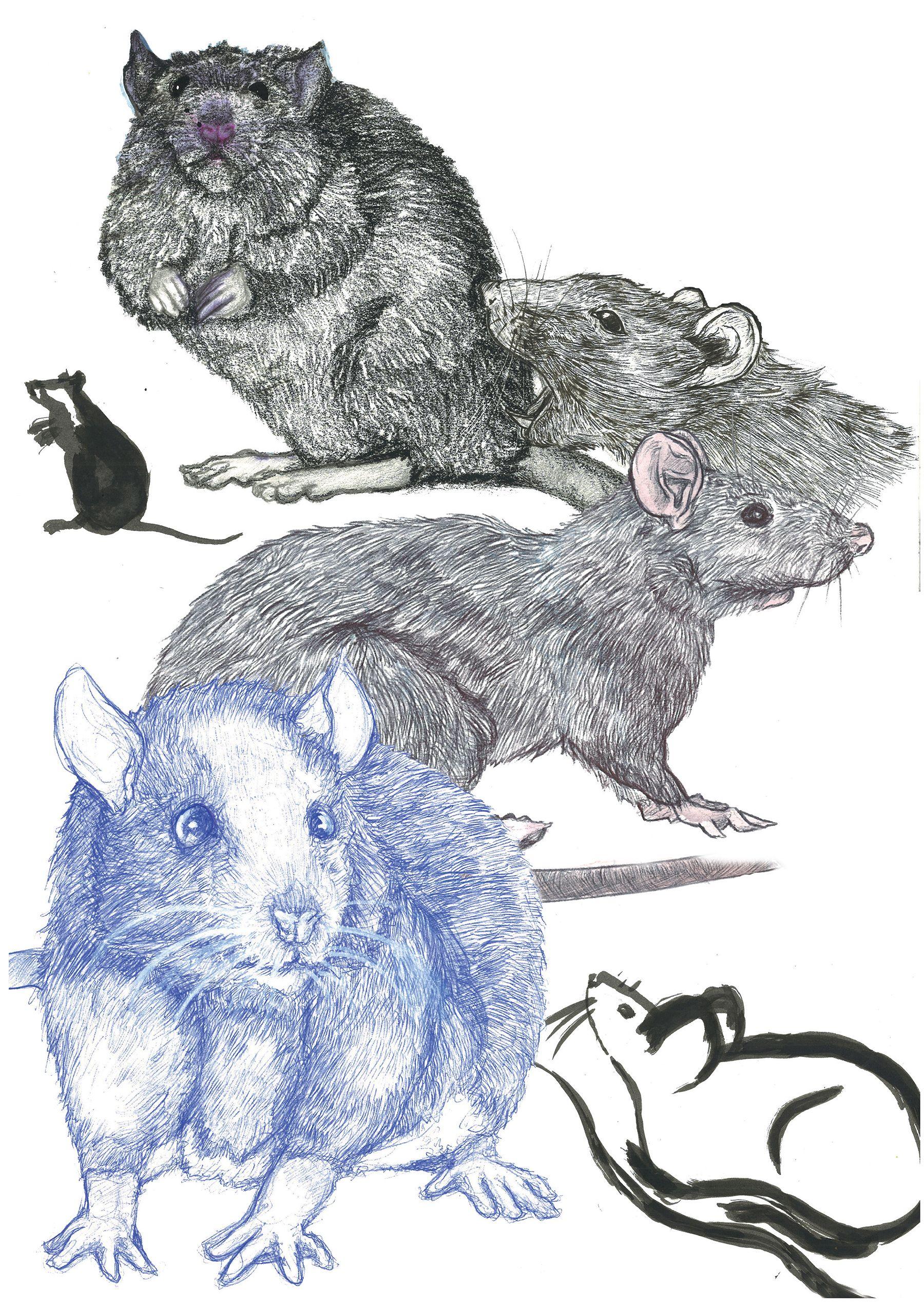 Etude de rats et souris